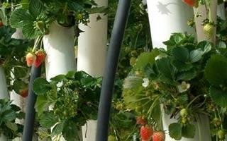 Как в шинах выращивать клубнику в